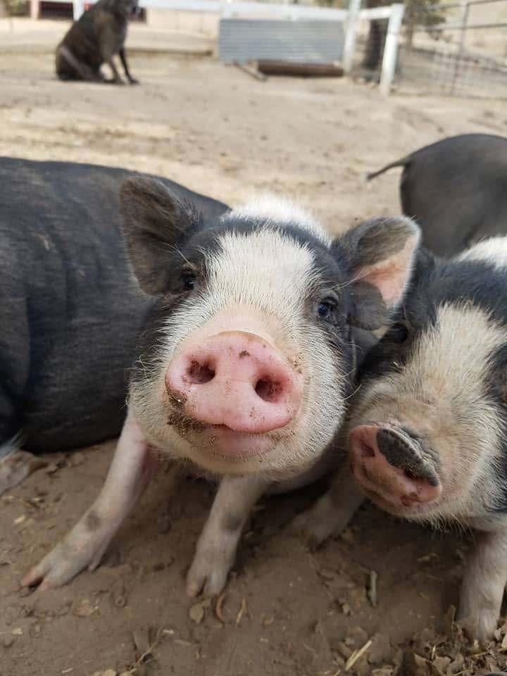 Pig Looking forward