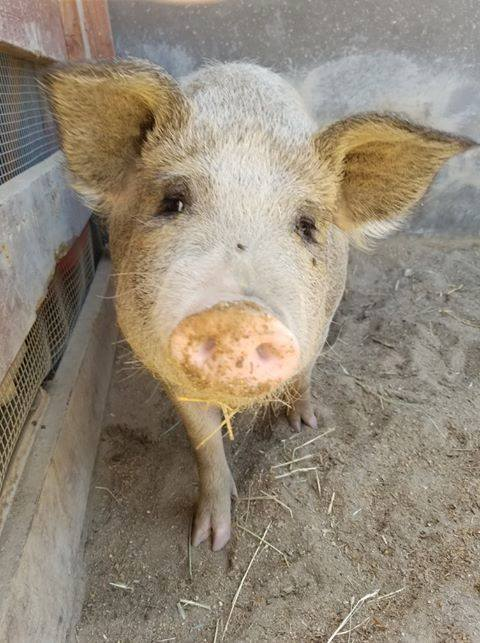 Pig from Lil Orphan Hammies