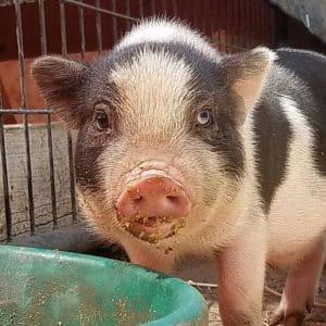 Lil Orphan Hammies Pig